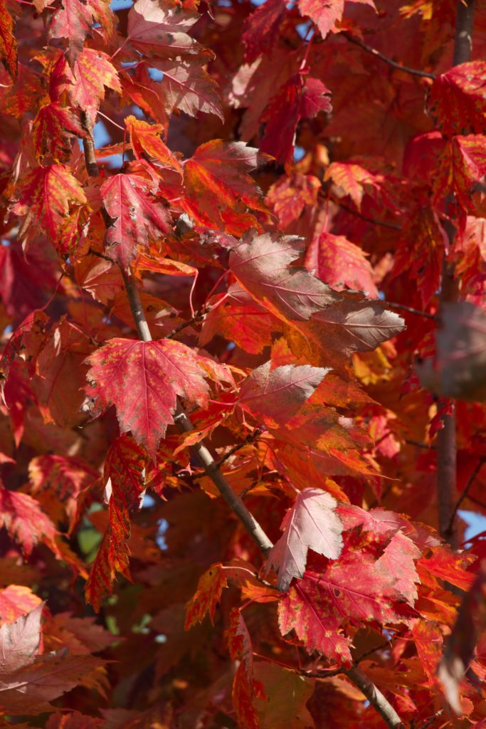 photo of red sugar maple leaves