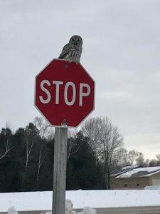 photo of Barred owl on stop sign