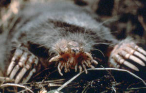 photo of star-nosed-mole