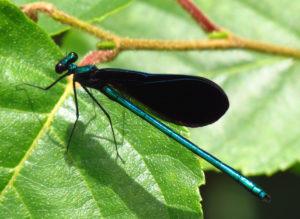 photo of ebony jewlewing damselflydragonfly