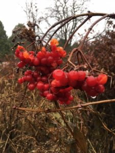 photo of high bush cranberry