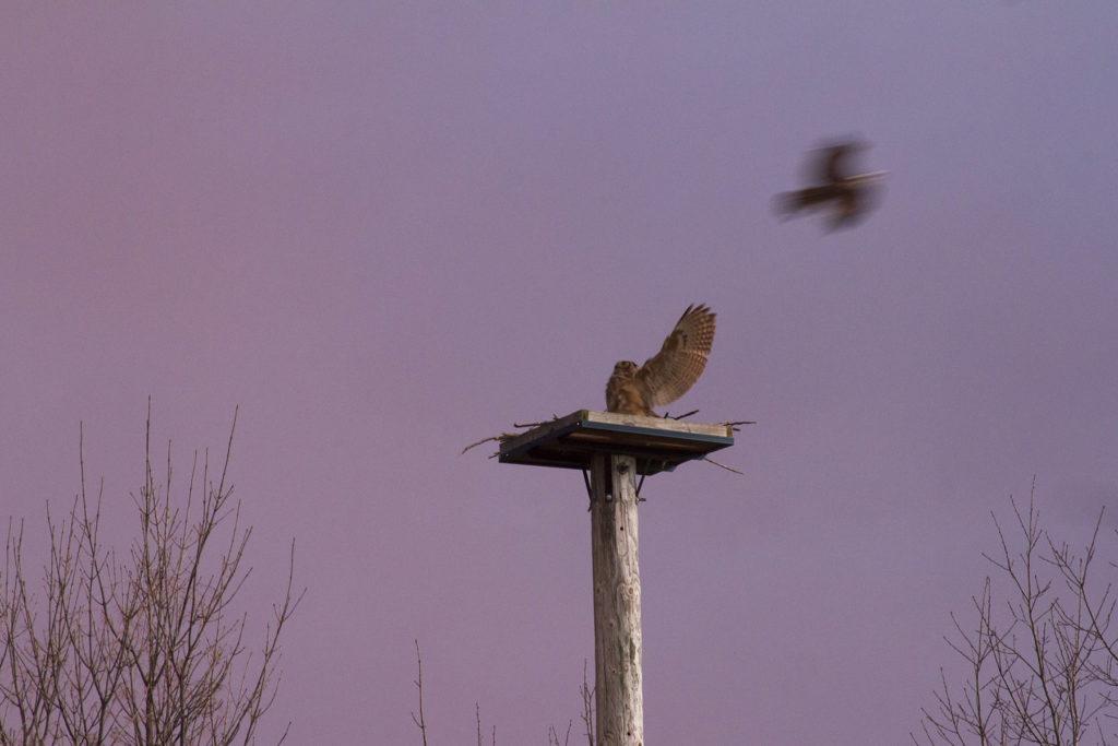 photo of Great Horned Owl fending off Osprey