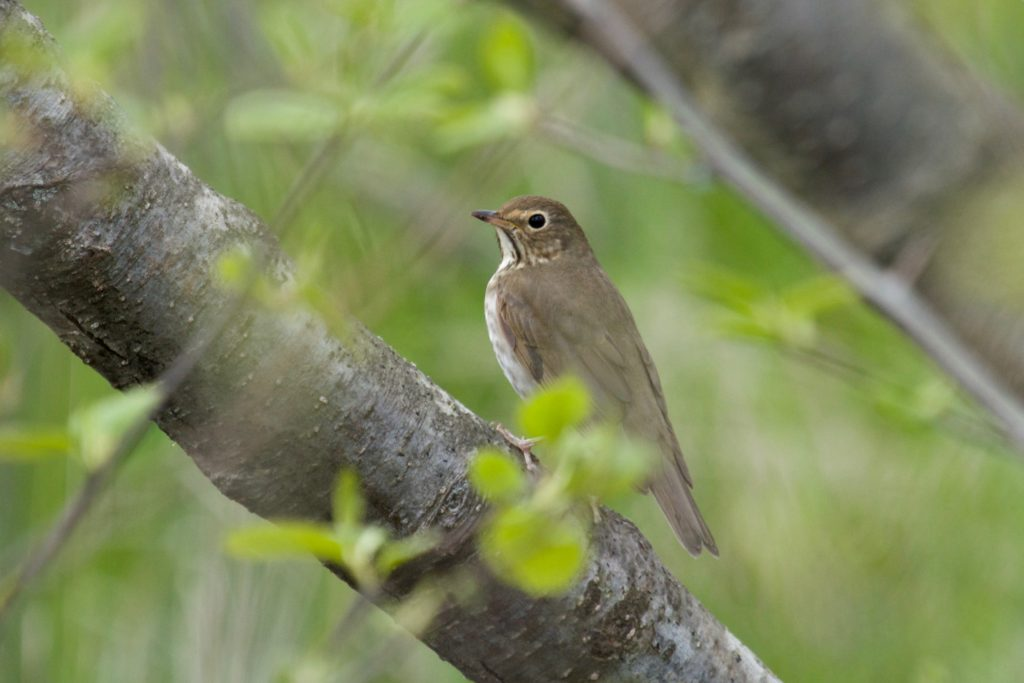 photo of a Swainson's thrush