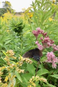 photo of dark morph eastern tiger swallowtail butterfly
