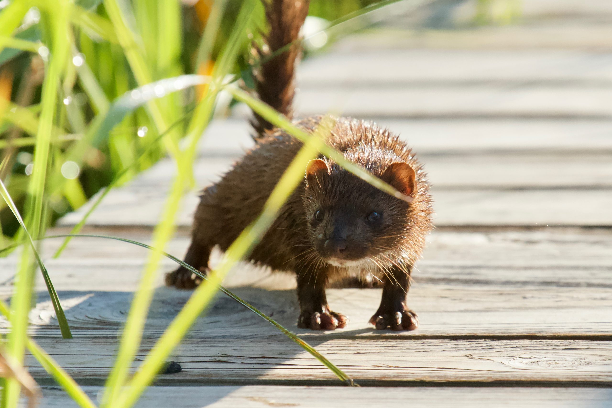 Mink on the boardwalk at Woodland Dunes