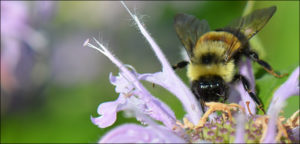 photo of a Rusty-patched bumble bee