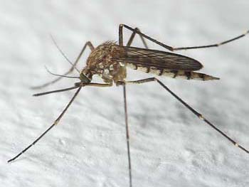 photo of a mosquito