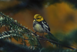 photo of Black-throated green warbler in tree