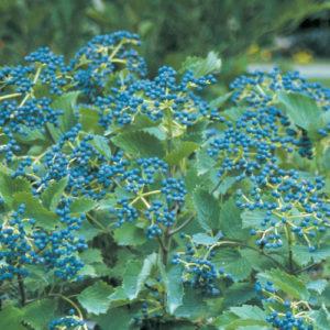 photo of native blue muffin shrub