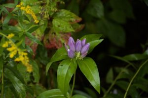 photo of bottle gentian and goldenrod
