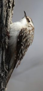 photo of brown creeper climbing tree