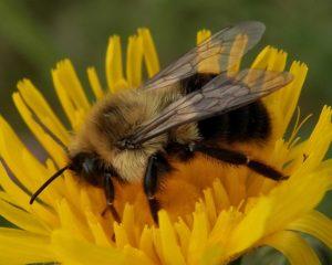 photo of common eastern bumblebee