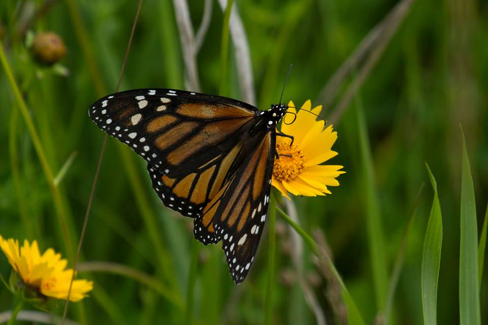 photo of monarch butterfly