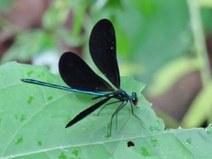 photo of ebony jewelwing