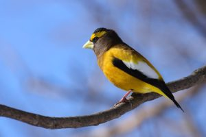 photo of Evening-grosbeak on branch
