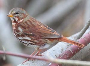 photo of Fox Sparrow