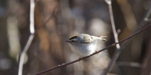 photo of golden-crowned kinglet