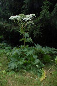 photo of giant hogweed