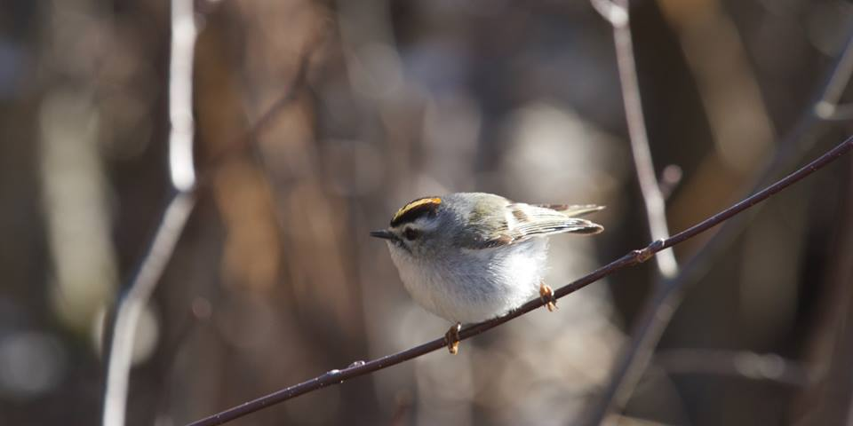 photo of a golden-crowned kinglet on a branch