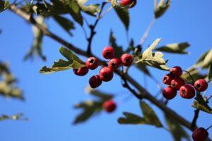 photo of fruit of hawthorn tree