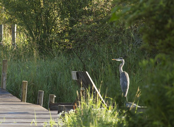 heron boardwalk