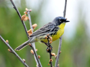 photo of Kirtland's warbler