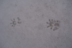 photo of opossum track in the snow