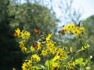 photo of monarchs in migration