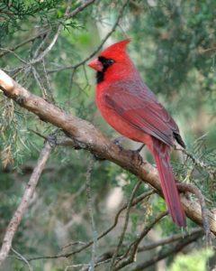 photo of Northern Cardinal