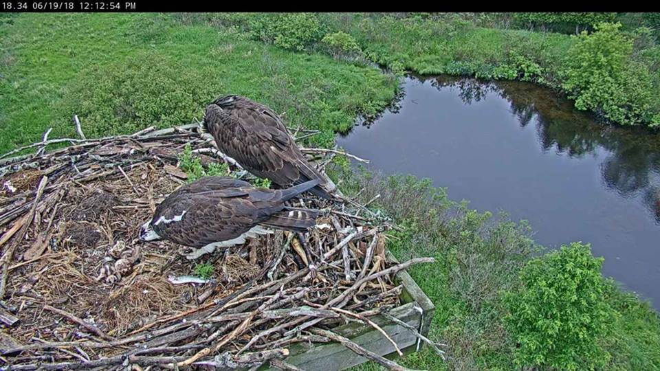 photo of adult ospreys with eggs in the nest
