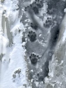 photo of otter tracks