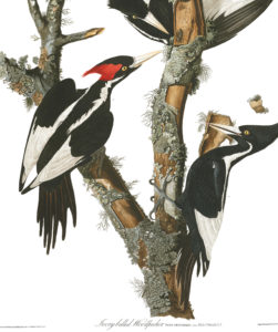 Ivory-billed woodpecker plate by John J Audubon