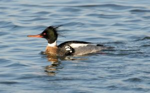 photo of male red-breasted merganser
