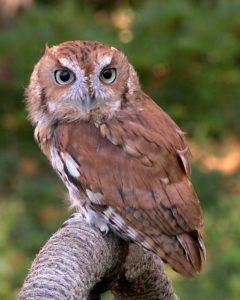 photo of a red phase screech owl