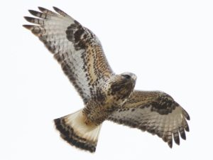 photo of rough-legged hawk in flight