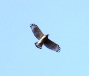Red-shouldered hawk in flight photo