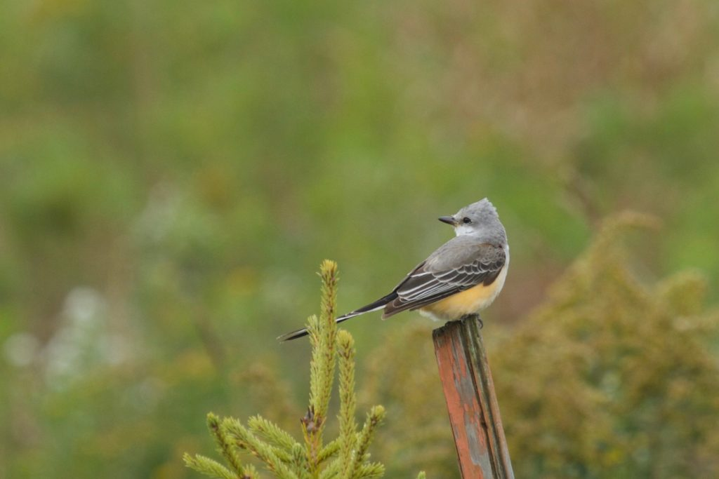photo of a scissor-tailed flycatcher on a post