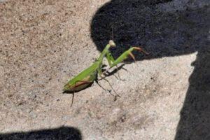 photo of praying mantis