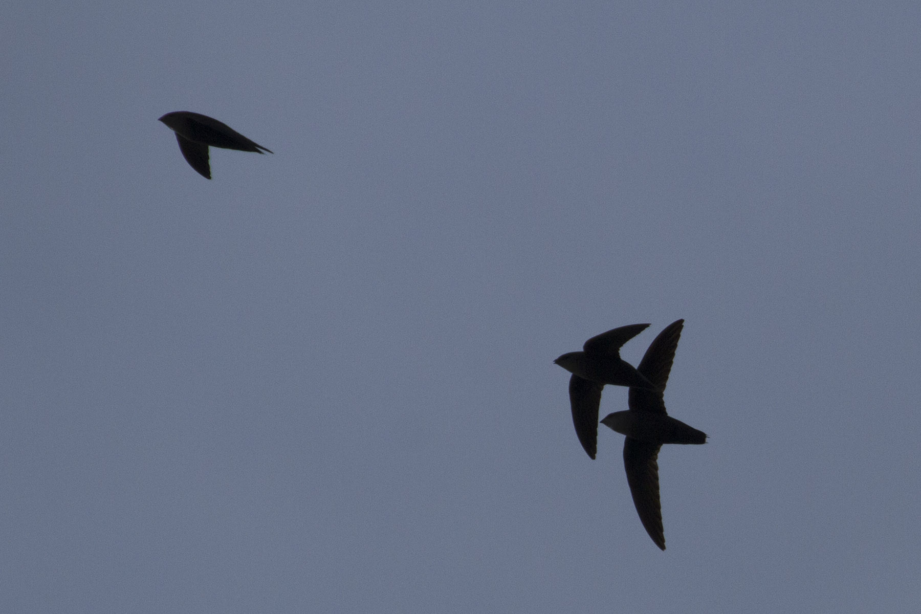 photo of 3 chimney swifts in courtship chase