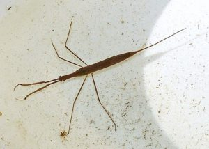 photo of water scorpion