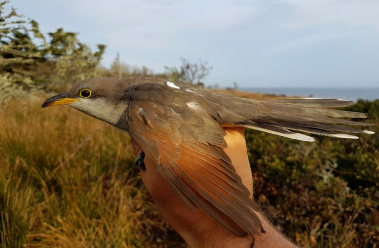 photo of a yellow-billed cuckoo with monitoring device